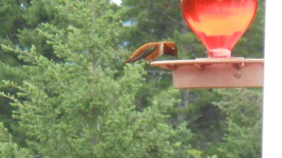 Wildwood Manor Bed and Breakfast: hummingbird feeding