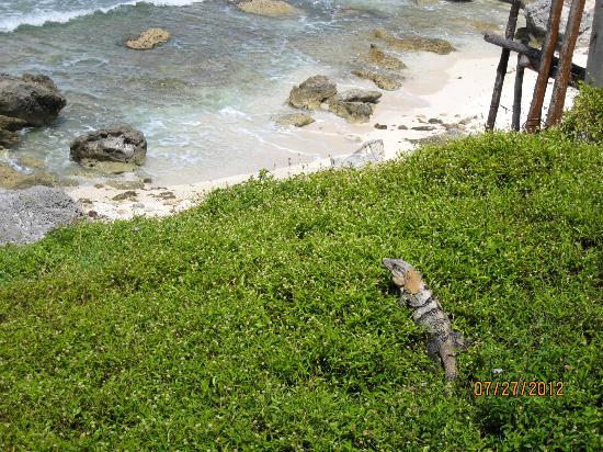Casa Roca Caribe: pet iguana