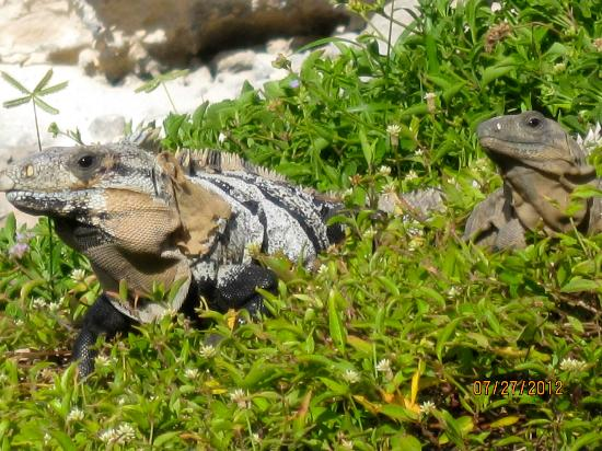 Casa Roca Caribe: Friendly iguana