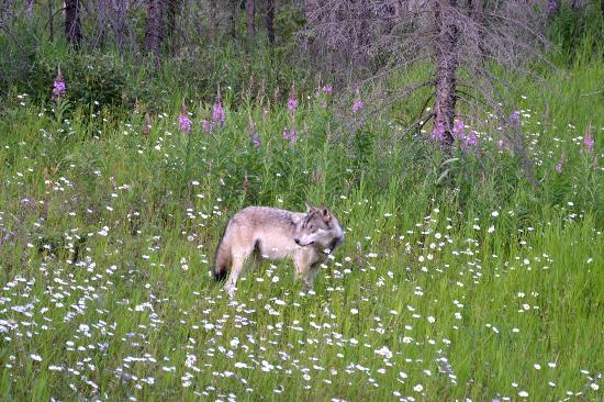 Rocky Mountain Springs Lodge and Restaurant: Wolf beside Hwy 93