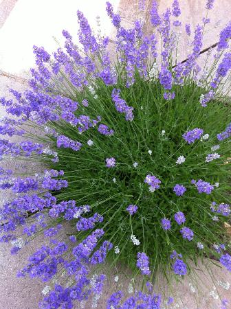 Terra Lavanda Vineland All You Need To Know Before You