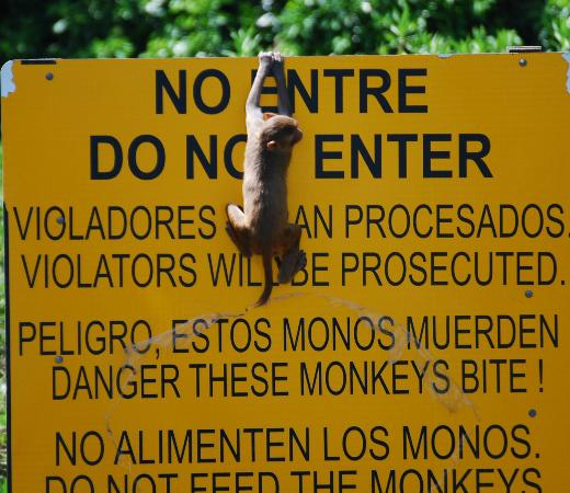 Humacao, Porto Rico : Baby Monkey Playing on the Sign.