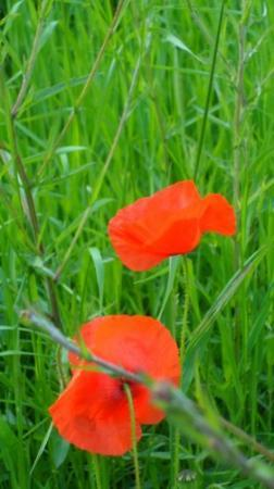 Sheffield and Tinsley Canal Trail: poppies