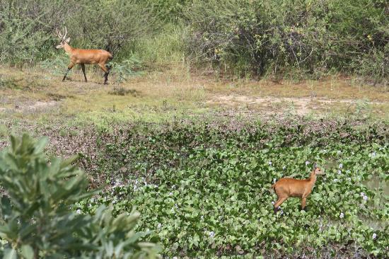 Estacao Natureza Pantanal: viado,