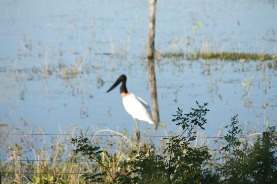 Estacao Natureza Pantanal: tuiuiu........jabiru