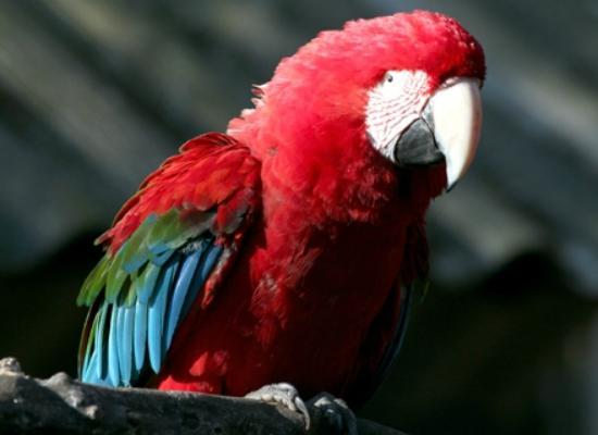 Zoologico de Americana: arara vermelha