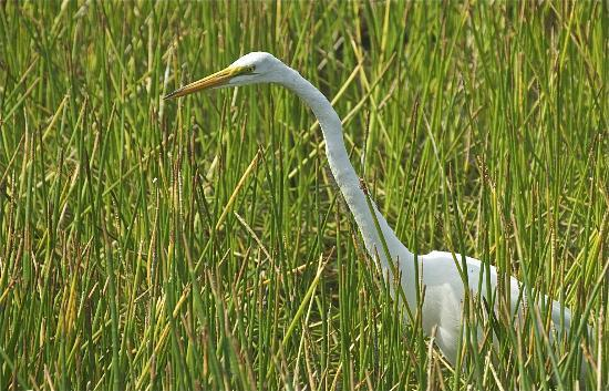 Wakodahatchee Wetlands : Great Snowy Egret