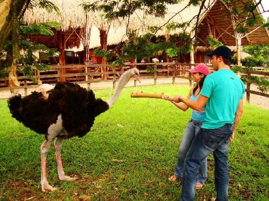 Quimbaya, Colombia: Estación de Avestruces PANACA.