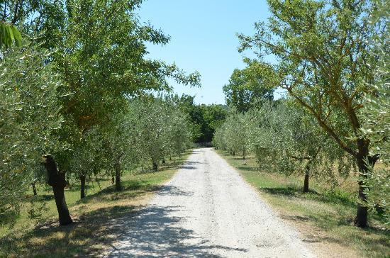 Agriturismo Casagrande: olive drive