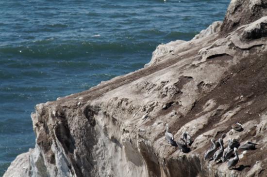 Shore Cliff Hotel: das Kliff, wo die Pelikane sich ausruhen
