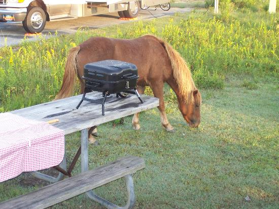 Assateague State Park Camping: Ponies grazing at our site.. What a great experience.