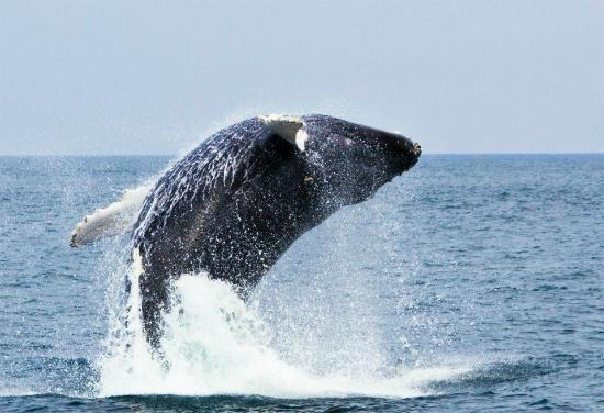 Dolphin Fleet Whale Watch : Humpback whale