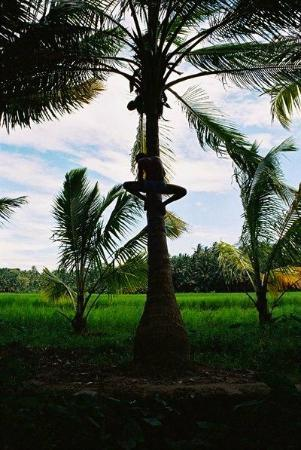 Magnolia Guesthouse: Coconut tree worker