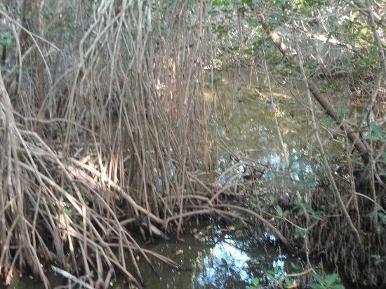 Matanzas Pass Preserve: Mangroves