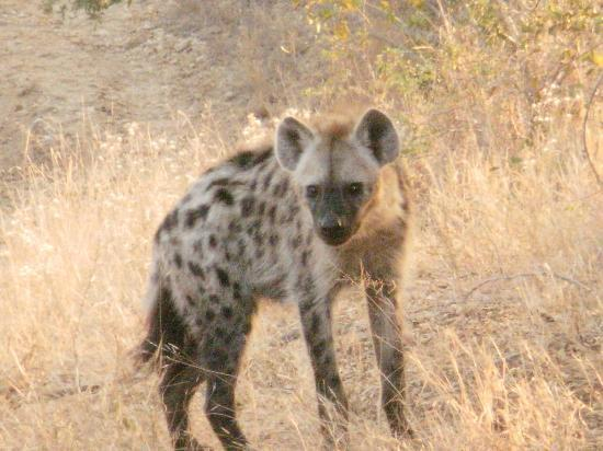 Shindzela Tented Safari Camp : Hyena