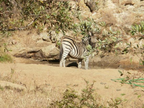 Shindzela Tented Camp: Zebra in the river bed