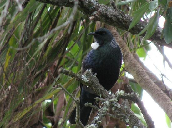 Bay Cabinz Motel: Abundant birdlife - native Tui