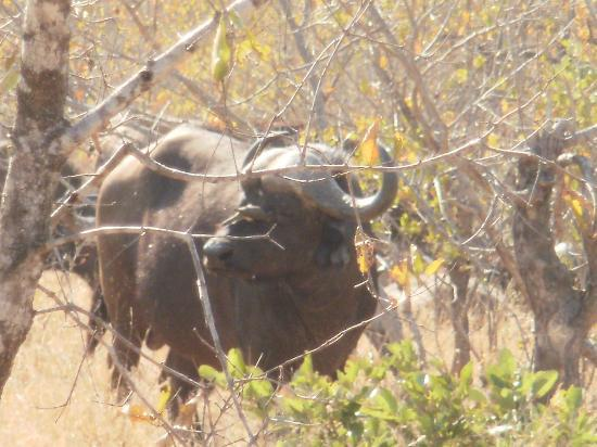 Shindzela Tented Camp: Buffalo in the bush