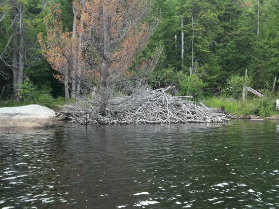 Taylor Pond: Huge beaver dam
