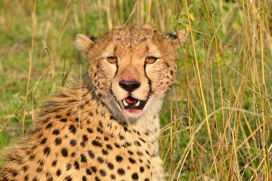 Sarova Mara Game Camp: CHEETAH