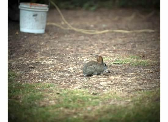 Plaskett Creek Campground: Daily bunny sitings