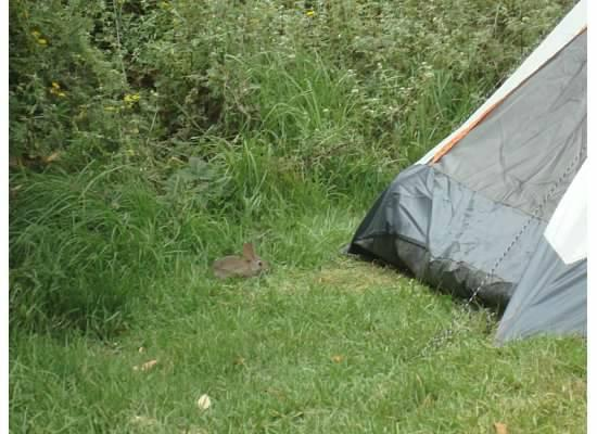Plaskett Creek Campground: bunnies at 32