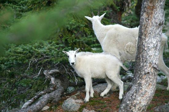 Mazama Country Inn: Mountain Goats