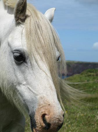 The Clock House: Welsh Mountain Ponies on Pembrokeshire Coast Path