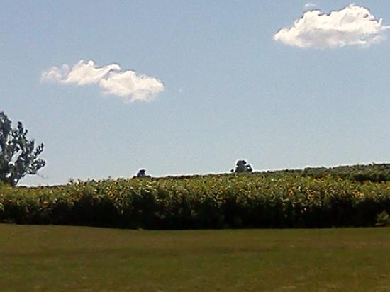 Finger Lakes Wine Country: Sheldrake Winery Sunflowers and Vines