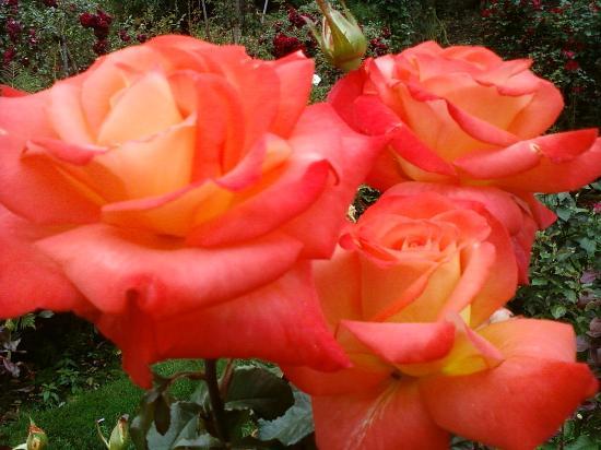 International Rose Test Garden: Coral roses