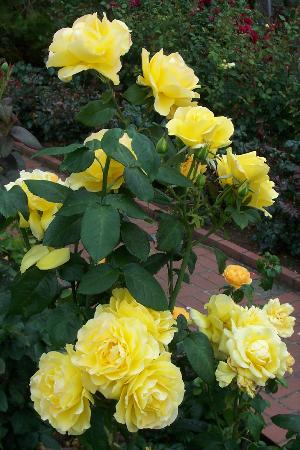 International Rose Test Garden: Yellow roses