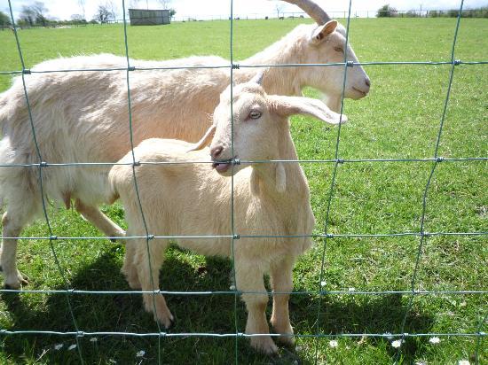 Thistledown Farm: Friendly goats