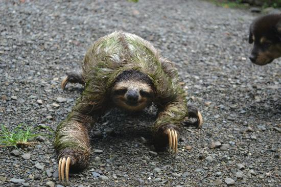 Exotica Lodge: Sloth in parking lot