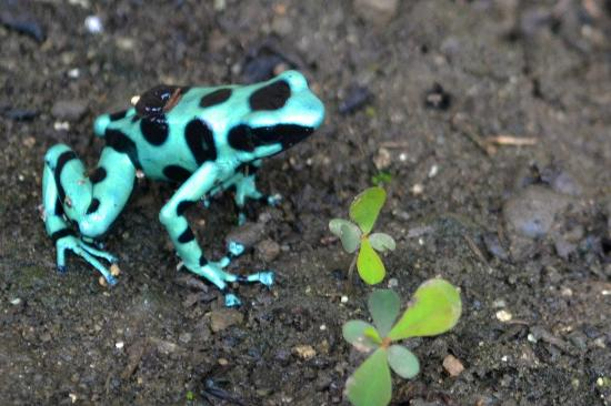 Exotica Lodge: Poisonous Frog