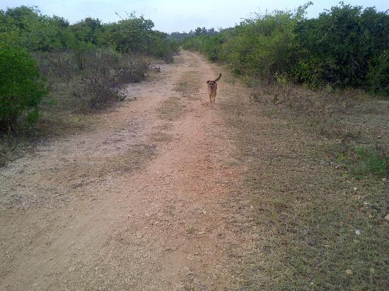 Fumba Beach Lodge: simba, the lodge dog, always willing to accompany me on a walk