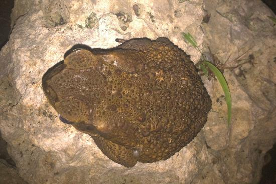 Ti'Village Creole: toads and tree-frogs come out at night