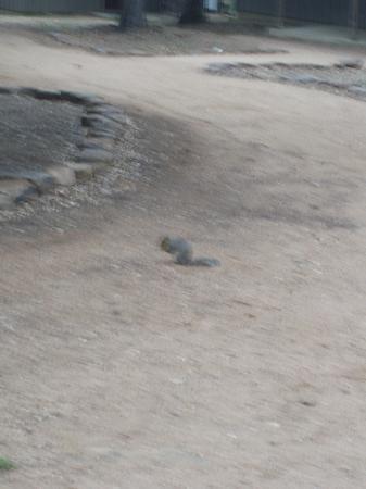 Canyon of the Eagles Resort: scoiattolo libero giardino/parco albergo in texas