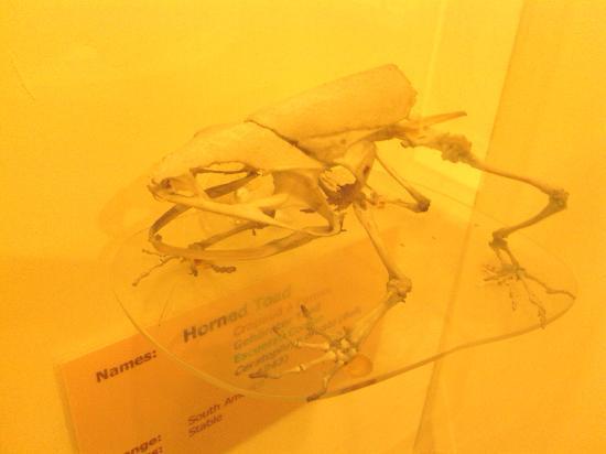 Booth Museum of Natural History: skelett av horngroda