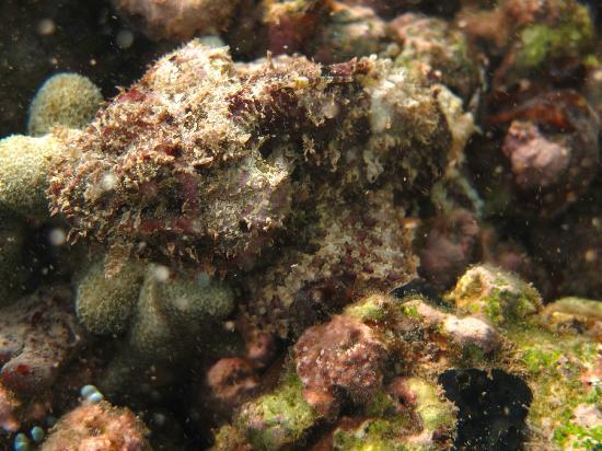 Laluna Hotel: Snorkeling - Stone Fish