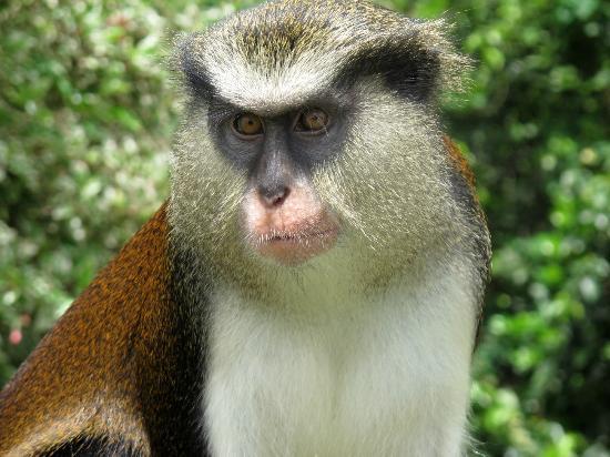 Laluna Hotel: Mona Monkey - Grand Etang
