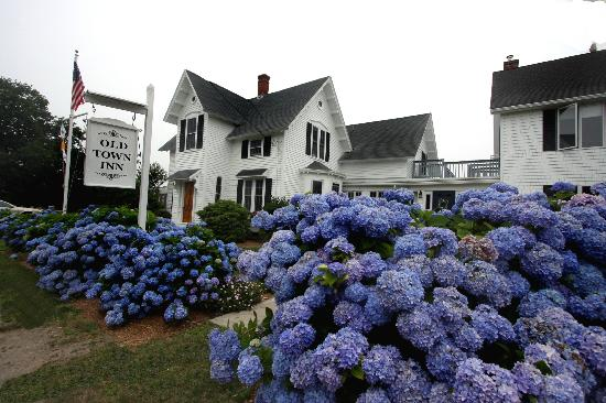 The Old Town Inn: Beautiful Hydrangeas