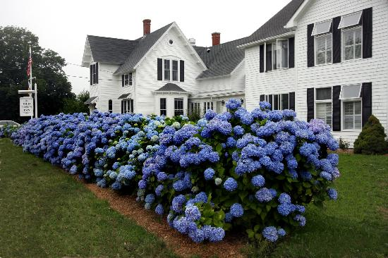 The Old Town Inn: More Hydrangeas