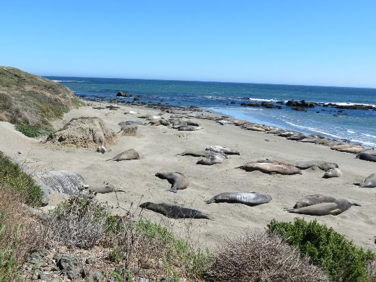 Fireside Inn on Moonstone Beach: Elephant Seals at San Simeon 15 miles north from BW