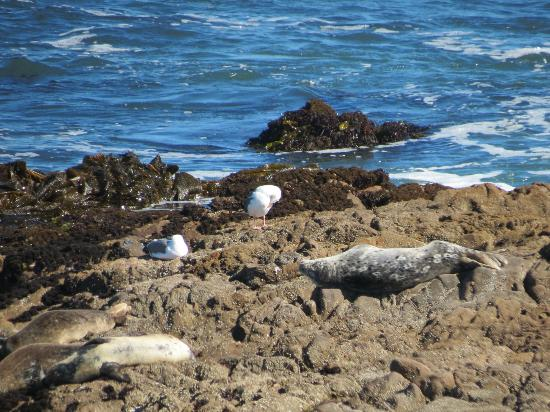 Fireside Inn on Moonstone Beach: Harbor Seals on rocks opposite BW Fireside