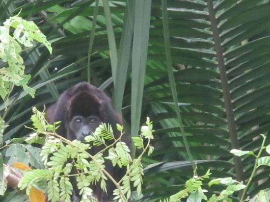 Monkey Island: Black Monkey
