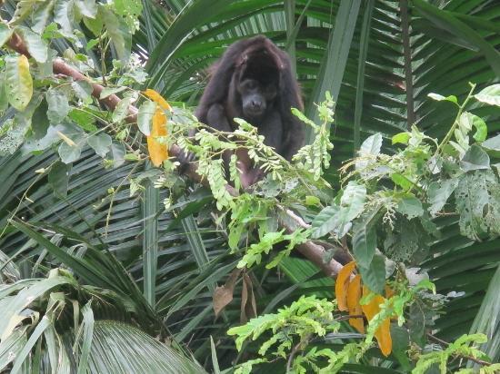 Monkey Island : Black Monkey
