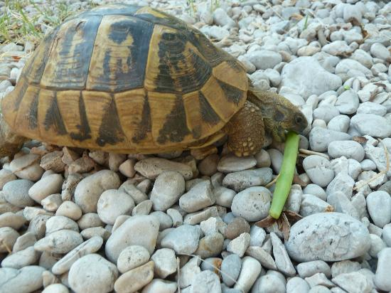 Bilicic Apartments: watching tortoise each breakfast as I eat mine