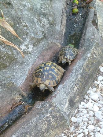 Bilicic Apartments: two of about 4 - 5 tortoises making there way about the yard