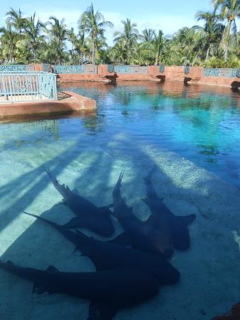 Comfort Suites Paradise Island : Sharks!
