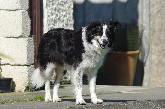 Bre Pen Farm B&B : the sheepdog!